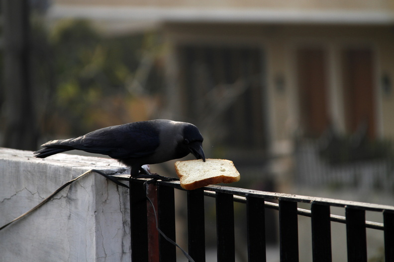 CrowPickingBread.JPG