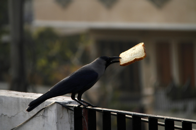 CrowPickingBread2.JPG