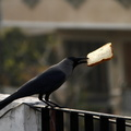 CrowPickingBread2
