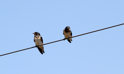 Swallow 20100509