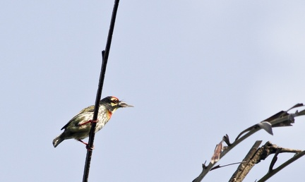 Coppersmith Barbet 20100612  4
