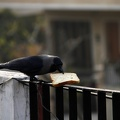CrowPickingBread