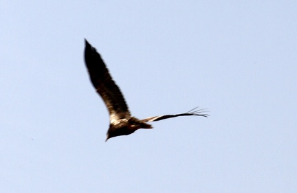 Egyption Vulture 100321  11