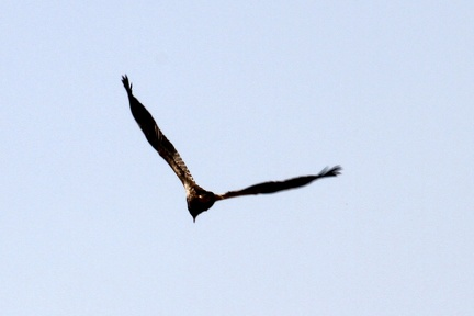 Egyption Vulture 100321  12