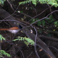 Bird of Paradise Flycatcher 2010-04-14  2