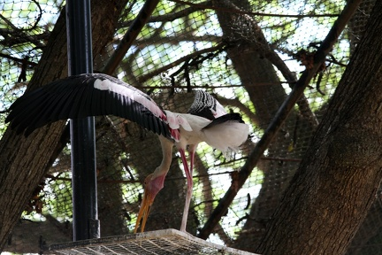 Painted Stork 20100501  2