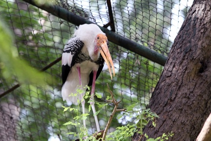 Painted Stork 20100501  3