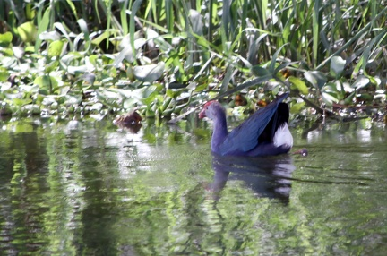 Purple Moorhen 20100501  2