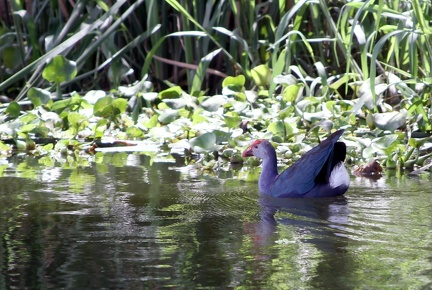 Purple Moorhen 20100501  3