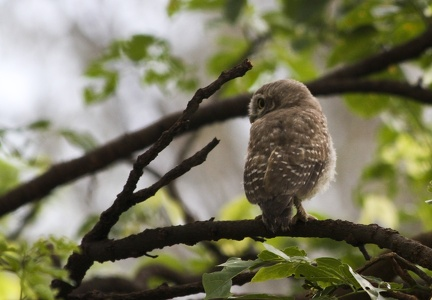 Spotted Owlet 20100612  2