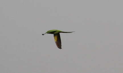 flyingparrot